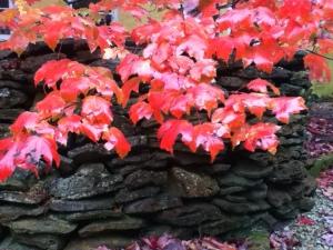 Image of liquidamber leaves