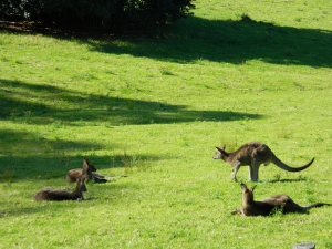 Image of paddock and kangaroos