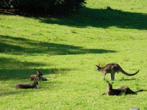 Image of paddock and kangaroos