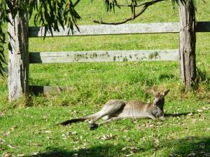 image of kangaroo