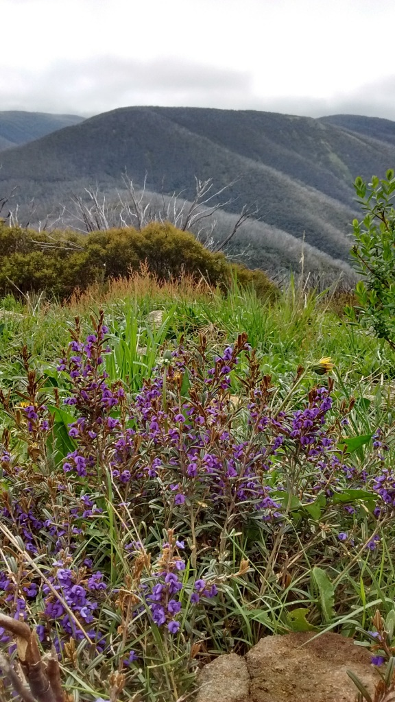 Hovea montana, overlooking the Kiewa Valley