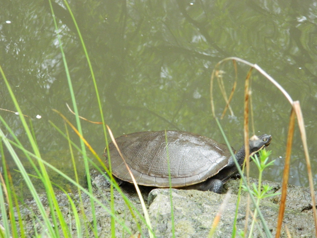 Turtle next to water