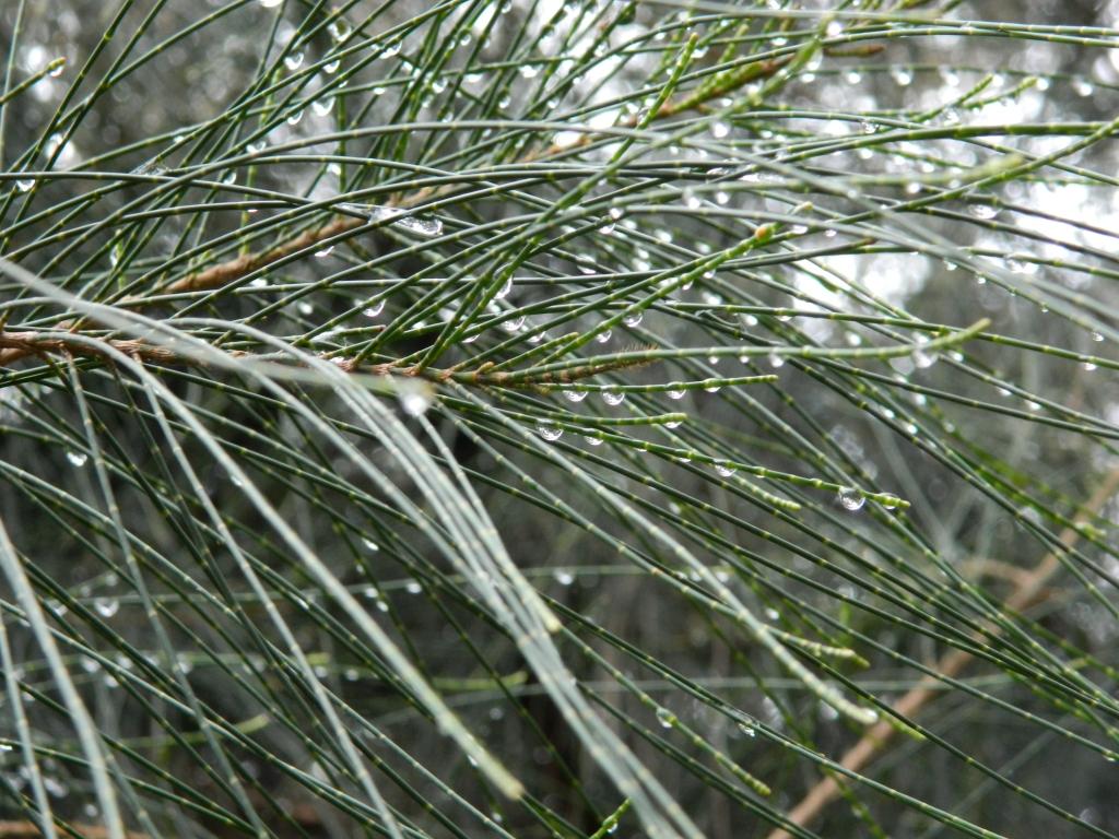 Rain drops on casuarina leaves