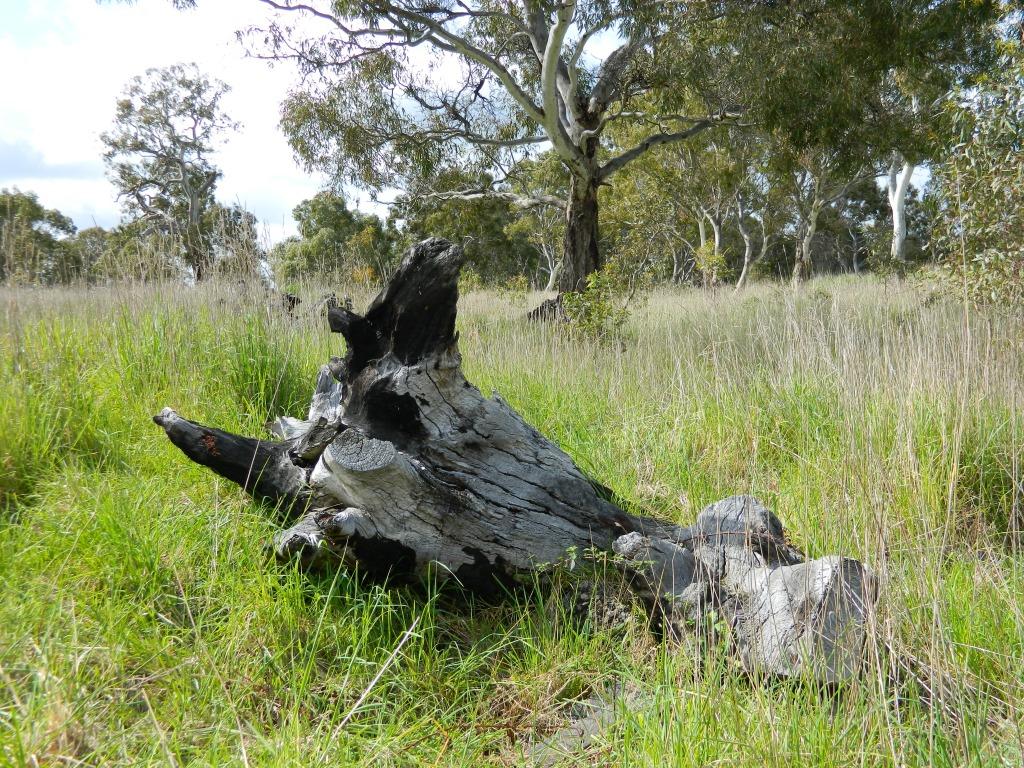 Stump in foreground, grassy woodland