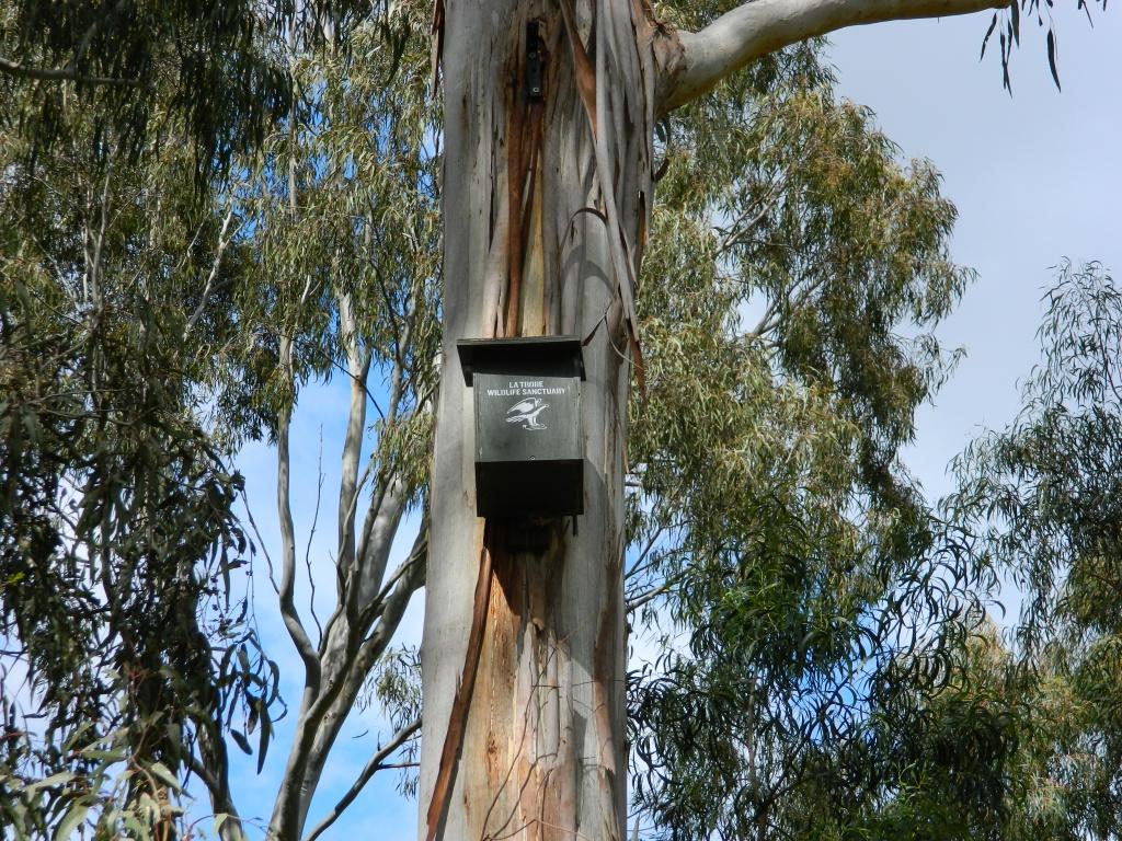 nesting box high on a eucalypt