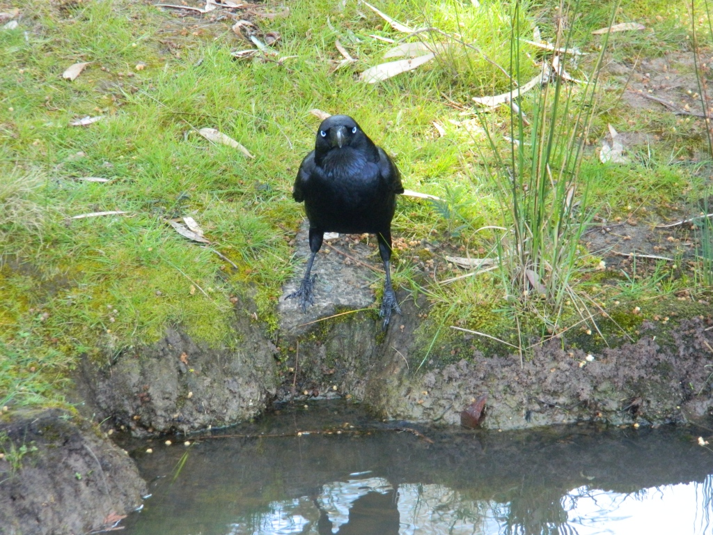 Raven staring at the camera