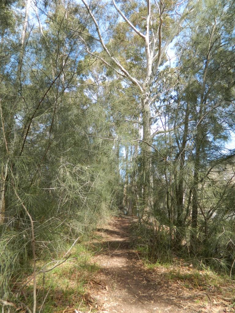 Track through casuarina trees