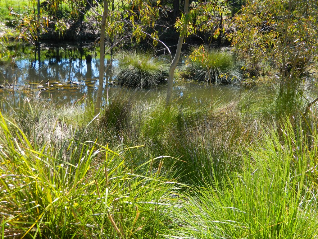 Revegetation on banks of moat - grasses and indigenous plants