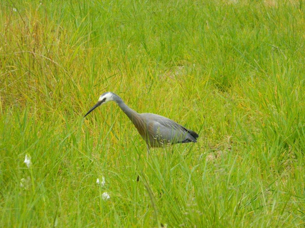 A white faced heron in long grass