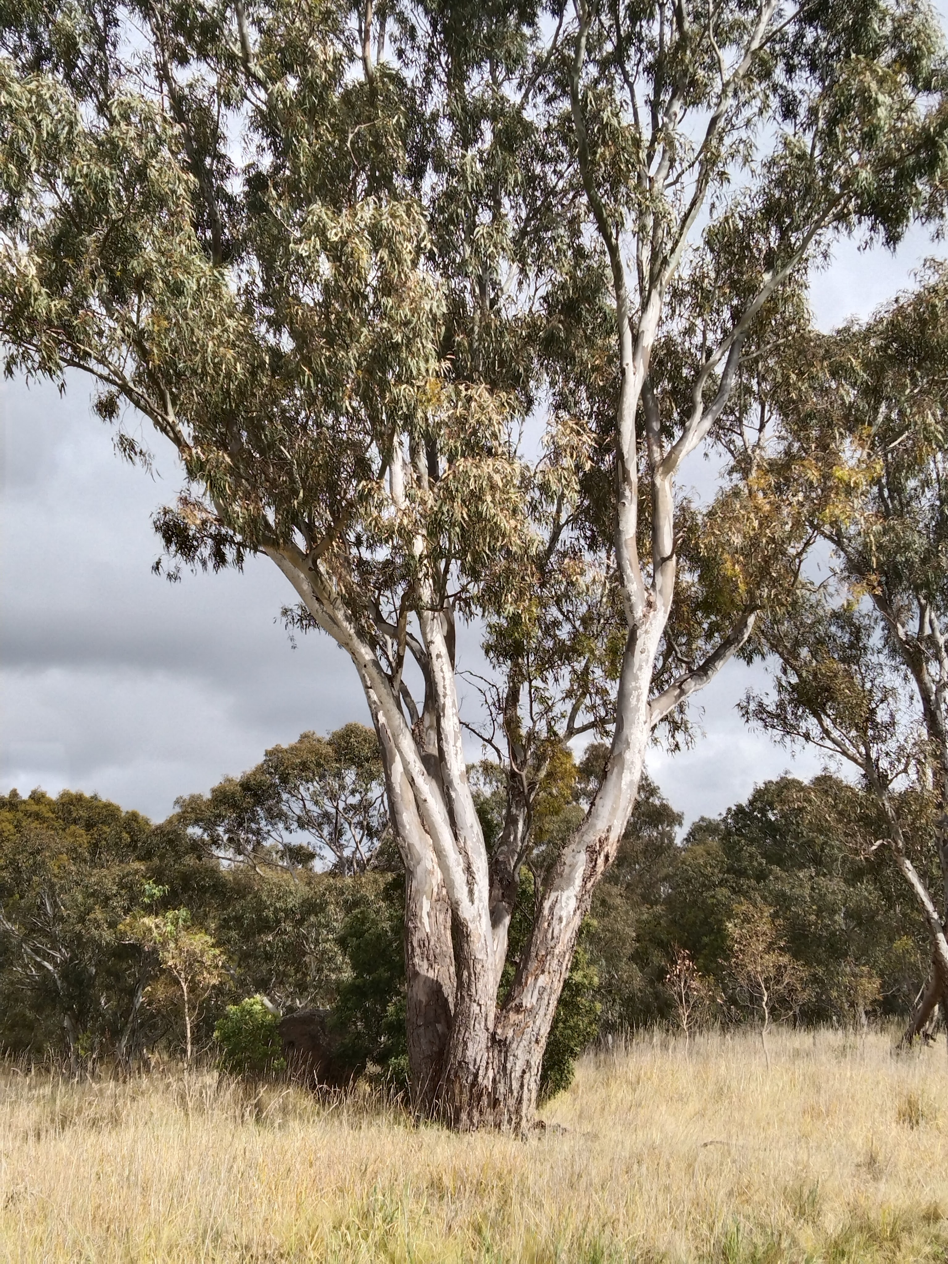 Old eucalypt tree in long grass