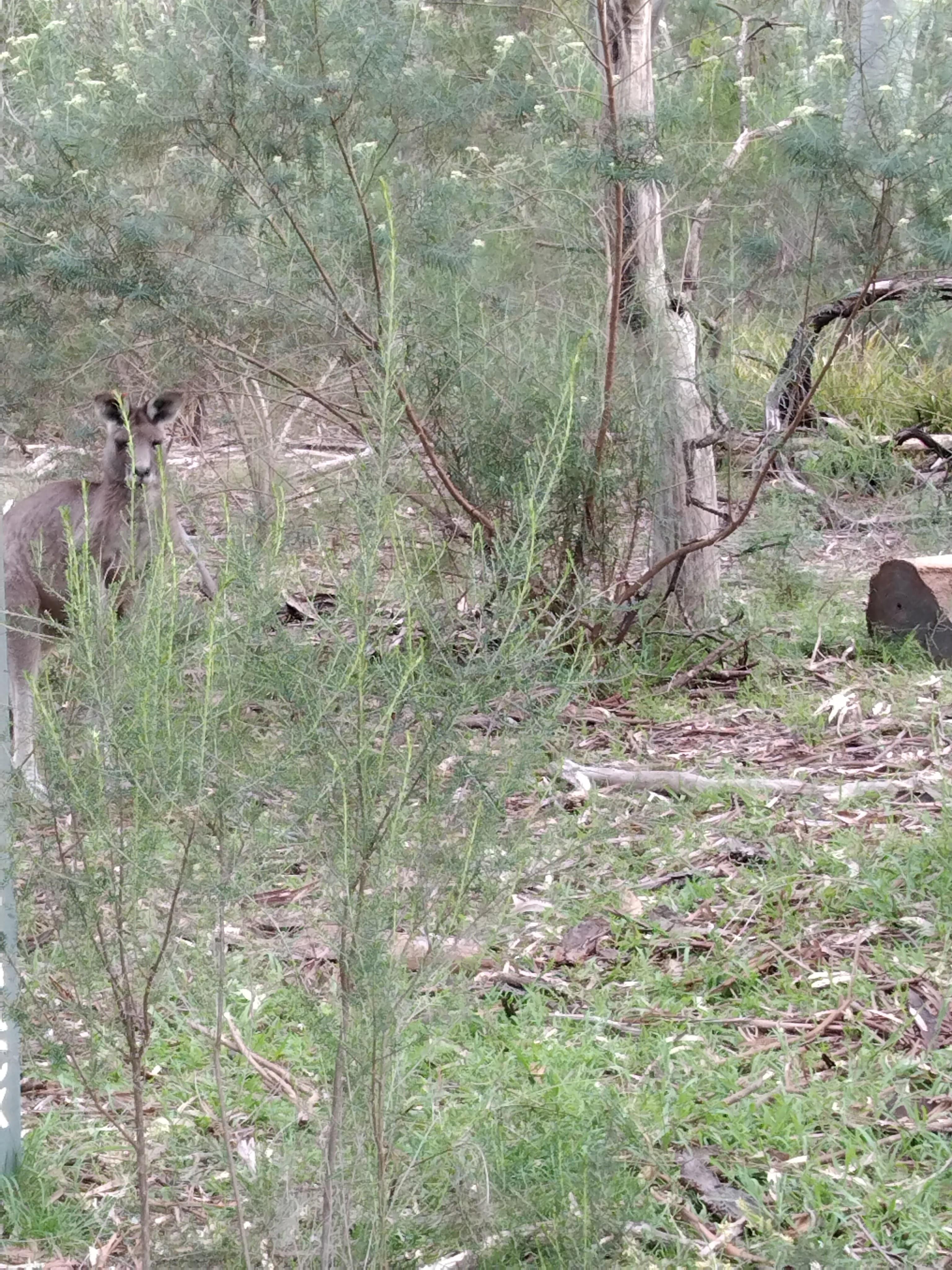 Kangaroo in scrubland